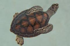 Baby Turtle Stock Photos