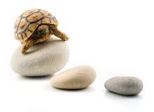Baby turtle on pebbles stock photo