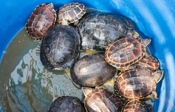 Baby Turtle in plastic buckets on sale in Bangkok Temple Royalty Free Stock Photography