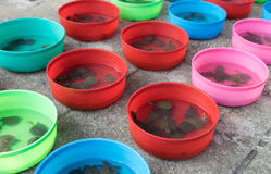 Baby Turtle in plastic buckets on sale in Bangkok Temple Stock Image