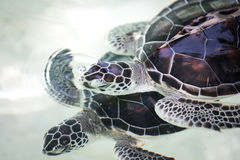 Baby turtle in a pool. Royalty Free Stock Images