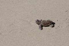 Baby turtle returning to the sea Stock Photo
