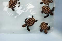 Baby turtle in nursery Stock Image