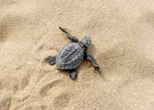Baby turtle on the beach stock images