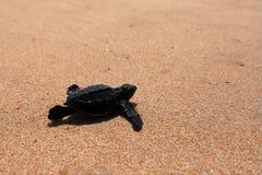Baby turtle sea turtles on the beaches of Sri Lanka. A Baby turtle sea turtles on the beaches of Sri Lanka royalty free stock image