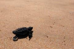 Baby turtle sea turtles on the beaches of Sri Lanka. A Baby turtle sea turtles on the beaches of Sri Lanka royalty free stock photography
