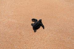 Baby turtle sea turtles on the beaches of Sri Lanka. A Baby turtle sea turtles on the beaches of Sri Lanka stock images