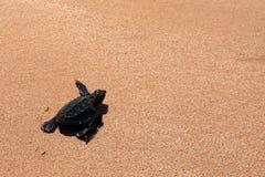 Baby turtle sea turtles on the beaches of Sri Lanka. A Baby turtle sea turtles on the beaches of Sri Lanka stock photography