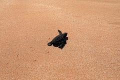 Baby turtle sea turtles on the beaches of Sri Lanka. A Baby turtle sea turtles on the beaches of Sri Lanka royalty free stock photos