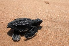 Baby turtle sea turtles on the beaches of Sri Lanka. A Baby turtle sea turtles on the beaches of Sri Lanka royalty free stock photo
