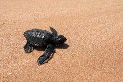 Baby turtle sea turtles on the beaches of Sri Lanka. A Baby turtle sea turtles on the beaches of Sri Lanka stock photo