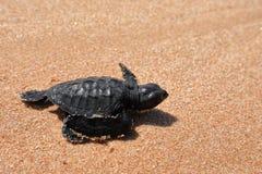 Baby turtle sea turtles on the beaches of Sri Lanka. A Baby turtle sea turtles on the beaches of Sri Lanka stock image