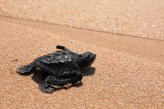 Baby turtle sea turtles on the beaches of Sri Lanka. A Baby turtle sea turtles on the beaches of Sri Lanka royalty free stock images