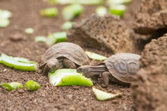 Baby Turtle Royalty Free Stock Photography