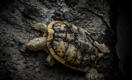 Baby Turtle Stock Images