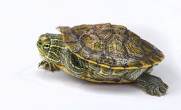 Baby Turtle Stock Image