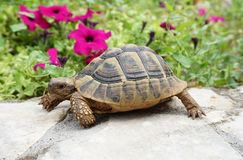 Baby turtle on the stone wall royalty free stock image