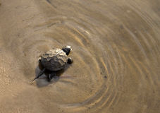 Baby turtle swimming in the water Stock Photo
