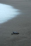 Baby turtle taking first steps to the waters edge Stock Image