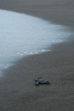 Baby turtle taking first steps to the waters edge Stock Images