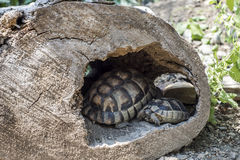 Baby Turtle Testudo Marginata european landturtle family two hiding wooden cave closeup wildlife Stock Photos