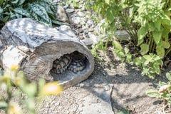 Baby Turtle Testudo Marginata european landturtle family two hiding wooden cave closeup wildlife Royalty Free Stock Photos