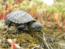 Baby turtle. A baby turtle walking on the land Stock Image