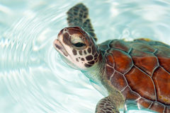 Baby turtle in the water. Baby turtle close up in the water Royalty Free Stock Photo