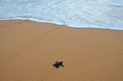 Baby turtlecreeps in den Ozean lizenzfreies stockbild