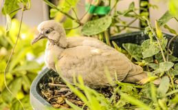 Baby turtledove. Turtledove nesting in a balcony during summer at Spain, Europe Royalty Free Stock Photos