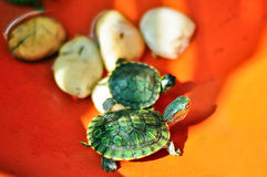 The baby turtles. With orange background Royalty Free Stock Photo