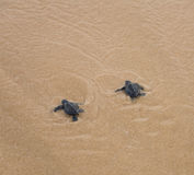 Baby turtles Stock Images