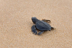 Baby turtles Royalty Free Stock Image