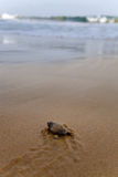 Baby turtles Royalty Free Stock Photo