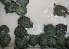 Baby turtles in a basin. Green baby turtles in a basin royalty free stock images