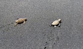 Baby Turtles crawl towards ocean Stock Photo