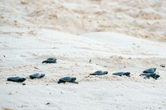 Baby turtles doing their first steps to the ocean. Praia Do Forte, Bahia, Brazil. Little Sea Turtle Cub, Crawls along the Sandy shore in the direction of the stock photo