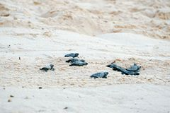 Baby turtles doing their first steps to the ocean. Praia Do Forte, Bahia, Brazil. Little Sea Turtle Cub, Crawls along the Sandy shore in the direction of the stock image
