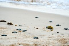 Baby turtles doing their first steps to the ocean. Praia Do Forte, Bahia, Brazil. Little Sea Turtle Cub, Crawls along the Sandy shore in the direction of the royalty free stock images