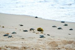 Baby turtles doing their first steps to the ocean. Praia Do Forte, Bahia, Brazil. Little Sea Turtle Cub, Crawls along the Sandy shore in the direction of the royalty free stock photography