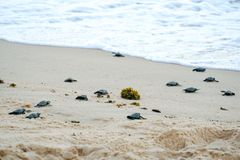 Baby turtles doing their first steps to the ocean stock photos