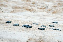 Baby turtles doing their first steps to the ocean. Praia Do Forte, Bahia, Brazil. Little Sea Turtle Cub, Crawls along the Sandy shore in the direction of the stock images
