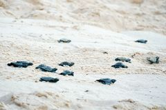 Baby turtles doing their first steps to the ocean. Praia Do Forte, Bahia, Brazil. Little Sea Turtle Cub, Crawls along the Sandy shore in the direction of the royalty free stock photos