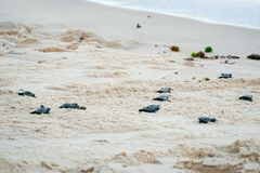 Baby turtles doing their first steps to the ocean. Praia Do Forte, Bahia, Brazil. Little Sea Turtle Cub, Crawls along the Sandy shore in the direction of the royalty free stock photo