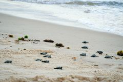 Baby turtles doing their first steps to the ocean. Praia Do Forte, Bahia, Brazil. Little Sea Turtle Cub, Crawls along the Sandy shore in the direction of the stock photos