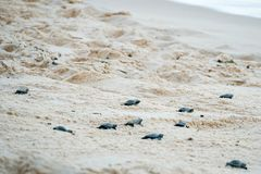 Baby turtles doing their first steps to the ocean. Praia Do Forte, Bahia, Brazil. Little Sea Turtle Cub, Crawls along the Sandy shore in the direction of the stock photography