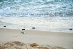 Baby turtles doing their first steps to the ocean. Praia Do Forte, Bahia, Brazil. Little Sea Turtle Cub, Crawls along the Sandy shore in the direction of the royalty free stock image