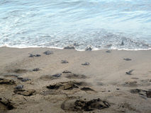 Baby turtles going to sea Stock Image