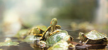 Baby turtles. Baby green turtles in the pond royalty free stock photography