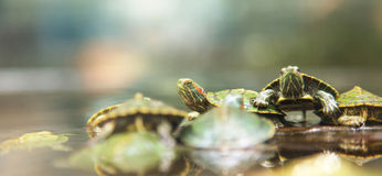 Baby turtles. Baby green turtles in the pond stock photography